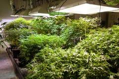 Εσωτερικές εγκαταστάσεις μαριχουάνα κάτω από τα φω'τα στοκ φωτογραφίες