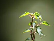 Εσωτερικές εγκαταστάσεις νεαρών βλαστών Poinsettia Στοκ Εικόνα