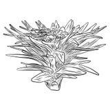 Εσωτερικές εγκαταστάσεις σπιτιών Συρμένος χέρι cactuse θάμνος φύλλων στο περιγραμματικό dood Στοκ Εικόνες