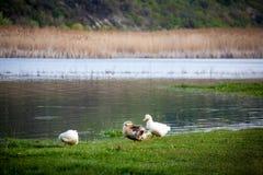Εσωτερικές πάπιες στον ποταμό Στοκ Εικόνες