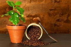 Εσωτερική ανάπτυξη καφέ γύρω από το φρέσκο κατάστημα φλυτζανιών καφέ φασολιών Δενδρύλλια του καφέ στον πίνακα αναπτύσσοντας φυτά Στοκ φωτογραφία με δικαίωμα ελεύθερης χρήσης