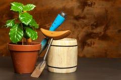 Εσωτερική ανάπτυξη καφέ γύρω από το φρέσκο κατάστημα φλυτζανιών καφέ φασολιών Δενδρύλλια του καφέ στον πίνακα αναπτύσσοντας φυτά Στοκ εικόνες με δικαίωμα ελεύθερης χρήσης