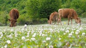 Εσωτερική αναπαραγωγή βοοειδών Οι αγελάδες βόσκουν στο λιβάδι Ένα κοπάδι των αγελάδων που βόσκουν σε έναν πράσινο τομέα με το τρι απόθεμα βίντεο