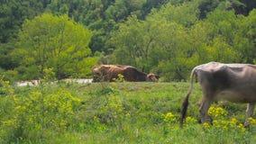 Εσωτερική αναπαραγωγή βοοειδών Οι αγελάδες βόσκουν στο λιβάδι Ένα κοπάδι των αγελάδων που βόσκουν σε έναν πράσινο τομέα απόθεμα βίντεο