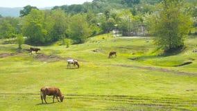 Εσωτερική αναπαραγωγή βοοειδών Οι αγελάδες βόσκουν στο λιβάδι ήλιων Ένα κοπάδι των αγελάδων που βόσκουν σε έναν πράσινο τομέα με  φιλμ μικρού μήκους
