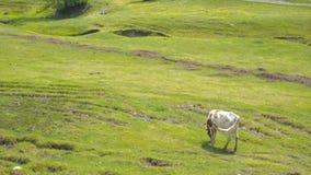 Εσωτερική αναπαραγωγή βοοειδών Το Bull βόσκει στο λιβάδι ήλιων Ένα κοπάδι της βοσκής αγελάδων σε έναν πράσινο τομέα με το τριφύλλ απόθεμα βίντεο