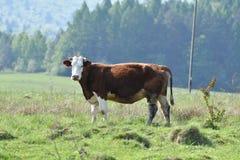 Εσωτερική βοσκή αγελάδων στο πράσινο λιβάδι λιβαδιού Στοκ φωτογραφίες με δικαίωμα ελεύθερης χρήσης