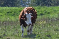 Εσωτερική βοσκή αγελάδων στο πράσινο λιβάδι λιβαδιού Στοκ Φωτογραφία