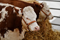 Εσωτερική βοσκή αγελάδων σε ένα αγρόκτημα Στοκ φωτογραφίες με δικαίωμα ελεύθερης χρήσης