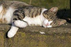 Εσωτερική γάτα κατά την καθαρισμό Στοκ εικόνες με δικαίωμα ελεύθερης χρήσης