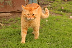 Εσωτερική γάτα κοκκινομάλλης Στοκ Φωτογραφίες