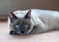 Εσωτερική γάτα κοντός-τρίχας μπλε-σημείου Στοκ Φωτογραφία