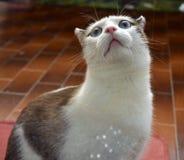 Εσωτερική γάτα με τα μεγάλα μπλε μάτια Στοκ εικόνες με δικαίωμα ελεύθερης χρήσης
