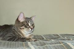 Εσωτερική γάτα σπιτιών σε ένα κρεβάτι στοκ φωτογραφίες