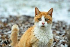 Εσωτερική γάτα σπιτιών Στοκ Φωτογραφίες