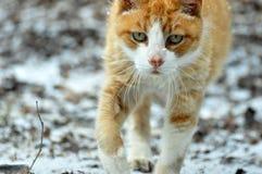 Εσωτερική γάτα σπιτιών Στοκ Εικόνες