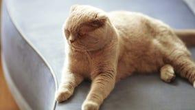Εσωτερική γάτα στον καναπέ απόθεμα βίντεο