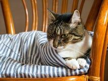 Εσωτερική γάτα τρία του William χρονών στοκ φωτογραφία
