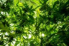Εσωτερική καλλιέργεια καννάβεων - οι καννάβεις αυξάνονται το κιβώτιο Στοκ Φωτογραφίες