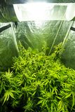 Εσωτερική καλλιέργεια μαριχουάνα - η μαριχουάνα αυξάνεται το κιβώτιο Στοκ φωτογραφία με δικαίωμα ελεύθερης χρήσης