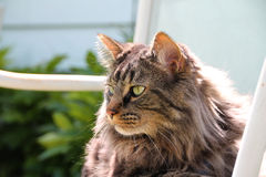Εσωτερική μέση γάτα τρίχας με το Μάιν στο θερινό ήλιο Στοκ Φωτογραφία