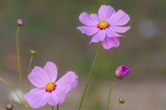 Εσωτερική ομορφιά των ρόδινων λουλουδιών Στοκ Φωτογραφία