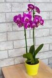 Εσωτερική πορφυρή ορχιδέα στο δοχείο λουλουδιών Στοκ Φωτογραφία