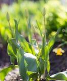 Εσωτερική τουλίπα λουλουδιών Στοκ Εικόνες