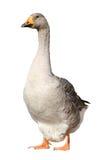 Εσωτερική χήνα, domesticus Anser anser, που απομονώνεται στο άσπρο υπόβαθρο Στοκ Εικόνα