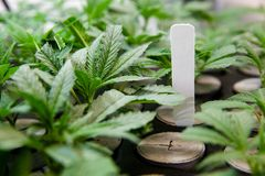 Εσωτερικοί νέοι κλώνοι μαριχουάνα κάτω από τα φω'τα στοκ εικόνα