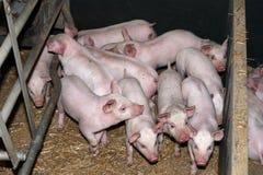 Εσωτερικοί χοίροι που μεγαλώνουν στο αγροτικό βιομηχανικό ζωικό αγρόκτημα Στοκ φωτογραφία με δικαίωμα ελεύθερης χρήσης