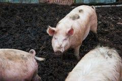 Εσωτερικοί χοίροι σε ένα αγρόκτημα Στοκ Εικόνες