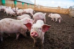 Εσωτερικοί χοίροι σε ένα αγρόκτημα Στοκ φωτογραφίες με δικαίωμα ελεύθερης χρήσης