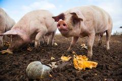 Εσωτερικοί χοίροι σε ένα αγρόκτημα Στοκ εικόνα με δικαίωμα ελεύθερης χρήσης