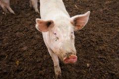 Εσωτερικοί χοίροι σε ένα αγρόκτημα Στοκ εικόνες με δικαίωμα ελεύθερης χρήσης
