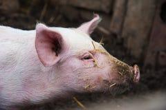 Εσωτερικοί χοίροι σε ένα αγρόκτημα Στοκ Εικόνα