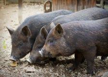 Εσωτερικοί χοίροι στο αγρόκτημα Στοκ εικόνα με δικαίωμα ελεύθερης χρήσης