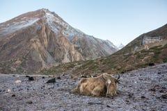 Εσωτερικοί yak ύπνοι στο παγωμένο έδαφος Στοκ Φωτογραφίες