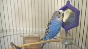 Εσωτερικός εγκλωβισμένος μπλε παπαγάλος budgie απόθεμα βίντεο