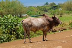 Εσωτερικός ταύρος που περπατά στην του χωριού οδό στην Αφρική στοκ φωτογραφία