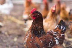 Εσωτερικό αγροτικό κοτόπουλο Στοκ Φωτογραφίες