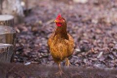 Εσωτερικό αγροτικό κοτόπουλο Στοκ εικόνες με δικαίωμα ελεύθερης χρήσης