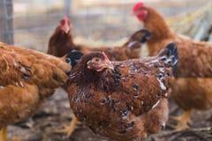 Εσωτερικό αγροτικό κοτόπουλο Στοκ Εικόνες