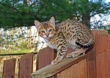 Εσωτερικό γατάκι σαβανών Serval Στοκ Φωτογραφίες