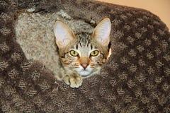 Εσωτερικό γατάκι σαβανών Serval Στοκ φωτογραφία με δικαίωμα ελεύθερης χρήσης