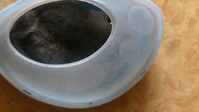 Εσωτερικό γκρίζο τσιντσιλά που λούζει την άσπρη άμμο απόθεμα βίντεο