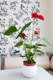 Εσωτερικό κόκκινο anthurium λουλούδι στο εσωτερικό Στοκ φωτογραφίες με δικαίωμα ελεύθερης χρήσης