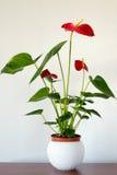 Εσωτερικό κόκκινο anthurium λουλούδι στο εσωτερικό Στοκ Φωτογραφίες