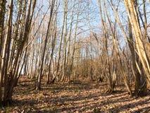 εσωτερικό ξύλο με πολλούς ψηλή δασική δασώδης περιοχή κορμών δέντρων γυμνή Στοκ Εικόνες