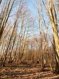 εσωτερικό ξύλο με πολλούς ψηλή δασική δασώδης περιοχή κορμών δέντρων γυμνή Στοκ Φωτογραφίες